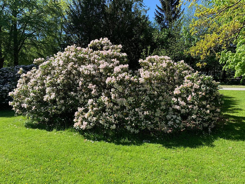 Schlosspark Grubhof - Rhododendron